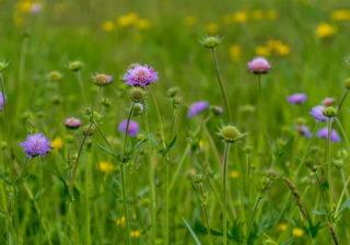 Wiese mit Acker-Witwenblume